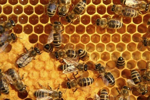 سالانه 192 تن عسل با کیفیت در سنندج فراوری می گردد