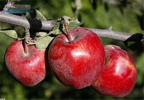 لزوم پرداخت مشوق های صادراتی به صادر کنندگان سیب درختی آذربایجان غربی