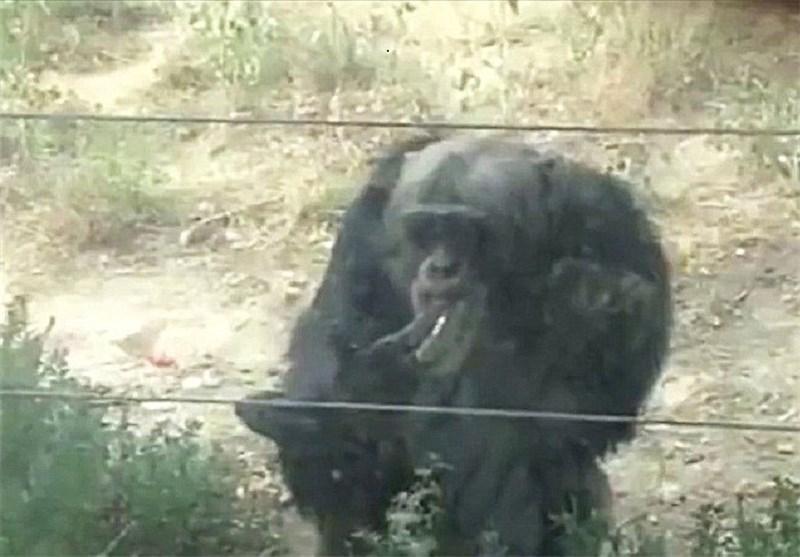 تصاویری از سیگار کشیدن یک شامپانزه در باغ وحش چین