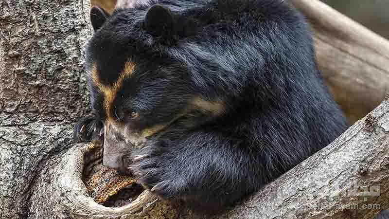 آیا خرس ها عاشق عسل هستند؟