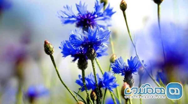 گل گندم؛ گیاه درمانی برای جوش و آکنه