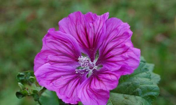 طرز تهیه شربت گل ختمی و خواص آن برای سلامتی
